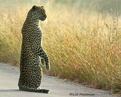 SIBFINDING  Leopard subadult searching for its sibling in the tall grass (Kruger National Park, RSA), photo Lisl Moolman  via Frans de Waal - Public Page FB