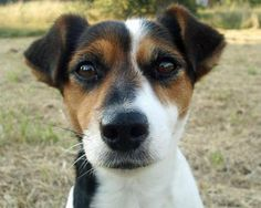 jack russell terrier - Google Search