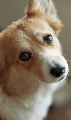 """Corgi, """"Dogs are not our whole life, but they make our lives whole."""""""
