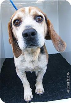 URGENT!!~~~Dallas, GA - Beagle. Meet 14-05-1484b Matlock, a dog for adoption. Please hurry to save this sweet baby this is a KILL SHELTER!!~~~http://www.adoptapet.com/pet/10819259-dallas-georgia-beagle