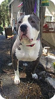 Mission Viejo, CA - Pit Bull Terrier. Meet Sherman, a dog for adoption. http://www.adoptapet.com/pet/14993512-mission-viejo-california-pit-bull-terrier