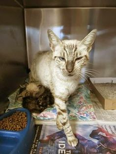 Downey CA: URGENT!!! Lynx point Siamese Mama Angie and 4 Kittens...HELP!!!!!! One year old Mama Angie and her 4- 1 month old babies have been at Downey since 9-16 They are WAY beyond their due out date of 9-20 and in BIG danger now that they are in Bldg 9 too PLEASE HELP SAVE THEM!!