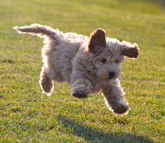 Labradoodle Puppy in Central Park, NYC. #puppies #labradoodle #NYC