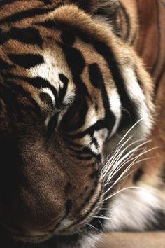 Sleeping Tiger...