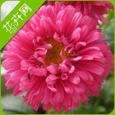 China aster seeds flower big four seasons 50 seed sowing