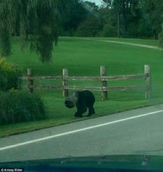 Blinded: Krissy Elder took a photo of the Bucket Bear roaming the highway and woods of western Pennsylvania and set up Save the Bucket Bear to rally support to encourage authorities to intervene