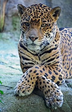 The leopard is a member of the Felidae family with a wide range in some parts of sub-Saharan Africa, West Asia, the Middle East, South and Southeast Asia to Siberia. Wikipedia