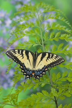Female Eastern Tiger Swallowtail Butterfly, photograph by  Darrell Gulin