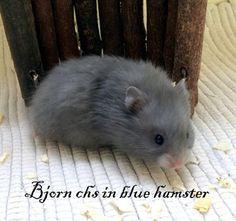 Bjorn chs in blue hamster Blue, Animals, Animales, Animaux, Animal, Animais