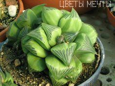 Хавортия ретуза (Haworthia retusa)