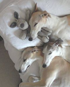 sweet, sleepy Whippets (owned by Cris Horne)