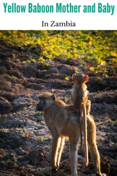 Yellow baboon mother and baby spend the late afternoon with their troop near a lagoon. Wildlife Safari, Baboon, African Safari, Mother And Baby, Africa Travel, Romantic Travel, Travel Around The World, Cool Places To Visit, Family Travel