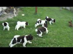 ▶ American-Akita puppies playing - YouTube