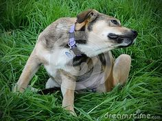 A view of a crossbreed rescue pup scratching its ear in long grass. Guinea Pigs, Sheep, Goats, Husky, Pup, Cute Animals, Horses, Pretty Animals, Cutest Animals