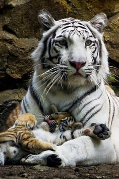 """Filhote de tigre descansa no """"colo"""" da mãe no zoológico de Cali, Colômbia. Foto…"""