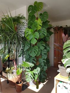 This beautiful monstera deliciosa! … This beautiful monstera deliciosa! This beautiful Monstera Deliciosa! This whole room is Tall Indoor Plants, Outdoor Plants, Hanging Plants, Garden Plants, Indoor Climbing Plants, Veg Garden, Balcony Garden, Big Leaf Indoor Plant, Tall Outdoor Planters