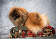 What Makes a Good Pekingese Show Dog? http://www.pekinews.com/what-makes-a-good-pekingese-show-dog-for-the-akc/