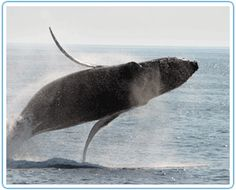 Bar Harbor, ME - Bar Harbor Whale Watch Company offers whale watching tours, lighthouse tours and lobster fishing.