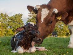Ternero recién nacido de una vaca frisona
