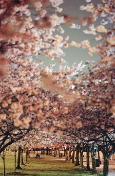 Cherry trees, Portland, Oregon