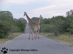 Giraffes Kruger National Park, National Parks, Giraffes, View Photos, Safari, Animals, Animales, Animaux, Animal