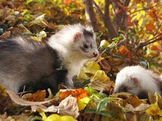 Ferrets in the Fall.