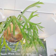 #ボタニカル#アプリ#greensnap  #コウモリラン #ビカクシダ #多肉#多肉植物#多肉バカ同盟 # #観葉植物 #ガーデニング #グリーンインテリア #園芸 #花部 #フラワー #花のある暮らし  #succulents #cactus#gardening #containergarden #flowerstagram #florist #greenthumb #greenlife #plants#containergarden#botanical#igersjp