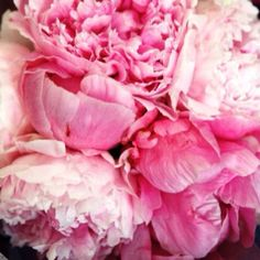 Pink Peonies are my Favorites! Oh for the beauty of ruffling peonies, soft buttery petals sunbathing in my garden.and gently slipping into my dreams! My Flower, Pretty In Pink, Pink Flowers, Beautiful Flowers, Fresh Flowers, Prettiest Flowers, Cactus Flower, Exotic Flowers, Yellow Roses