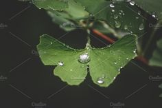 Leaves of the Ginkgo tree Photos Leaves of the Ginkgo tree with water drops by Alekseyliss Business Illustration, Photo Tree, Nature Photos, Water Drops, Plant Leaves, Stock Photos, Plants, Alchemist, Travel Posters