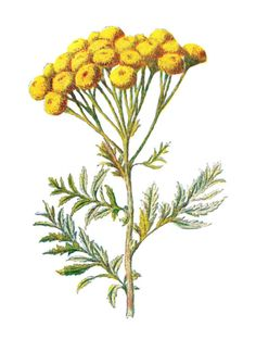 Tansy Wildflower