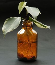 File:Ficus cuttings with roots in a bottle. The Constant Gardener, Inside Garden, Permaculture Design, Little Gardens, Green Tips, Plant Cuttings, Plantar, Horticulture, Indoor Garden