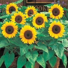 Sunny Smile dwarf sunflower (Helianthus annus) This variety grows up to 20 inches. We are planting 10 varieties of dwarf sunflowers as a temporary filler for the flower bed, as we can't plant bulbs until October or November in our hot desert climate.