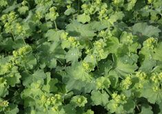 Lady's Mantle - natural way to boost sagging breasts