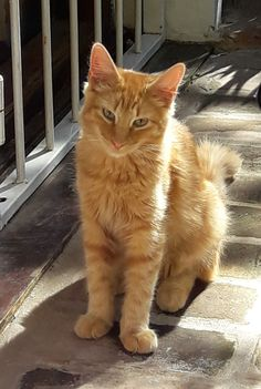 New kid on the block Cat Reference, Cat Character, Orange Cats, Warrior Cats, Pretty Baby, New Kids, Beautiful Creatures, Tuxedo, Cats And Kittens