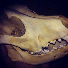 Canine skull Kourtney Fetty