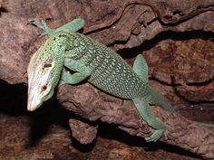 Green tree monitor lizard