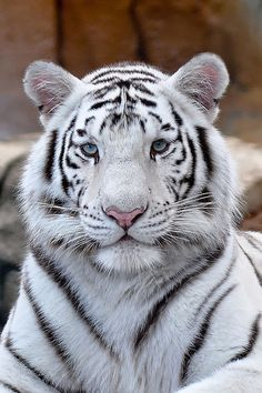 White Bengal Tiger Portrait To me these animals are just beautiful Majestic Animals, Rare Animals, Cute Baby Animals, Wild Animals, Tiger Pictures, Cute Animal Pictures, Beautiful Cats, Animals Beautiful, Pretty Cats