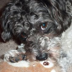Our schnoodle Winston guarding his chipmunk.oh my goodness. This was my Sox!