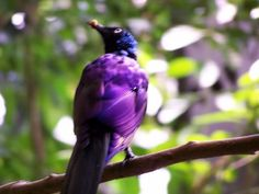 purple bird | rather blurry purple bird. National Aviary. Photo by Robin. 2006 )