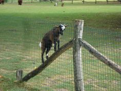 Goat Fencing # Goat Fencing At Tractor Supply~Goat Fencing And Housing Goat Fence, Big Red Barn, Raising Goats, Goat Farming, Tractor Supplies, Entrance Gates, Pictures Images, Livestock, Cattle