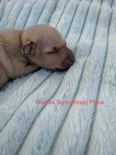 Italian Greyhound Puppies, Places, Dogs, Animals, Animales, Animaux, Pet Dogs, Doggies, Animal