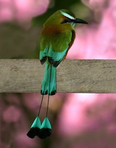 TURQUOISE-BROWED MOTMOT (Eumomota superciliosa) -  ©grabertimages.com The Turquoise-browed Motmot is a well-known bird in its range and has been chosen as the national bird of both El Salvador and Nicaragua.