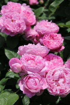 ~English rose: Rosa 'Mary Rose'