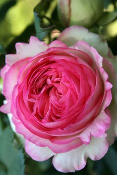 Pink rose, Portugal