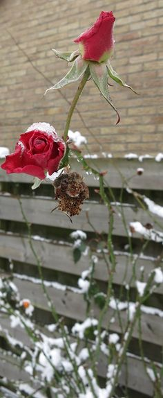 Frost Red Rose