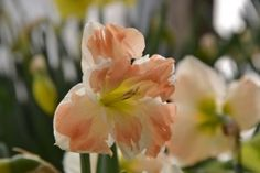 narcisssus, narcis Rose, Flowers, Plants, Pink, Plant, Roses, Royal Icing Flowers, Flower, Florals