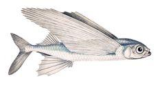 A common atlantic flying fish (Exocoetus volitans)