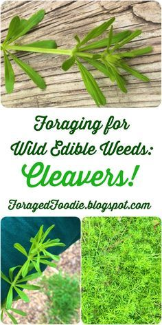 Foraging: how to safely find identify prepare and eat wild cleavers (Galium aparine) weeds. From the Foraged Foodie. Foraging: how to safely find identify prepare and eat wild cleavers (Galium aparine) weeds. From the Foraged Foodie. Healing Herbs, Medicinal Plants, Edible Wild Plants, Wild Edibles, Edible Flowers, Herbal Medicine, Herb Garden, Gardening Tips, Just In Case