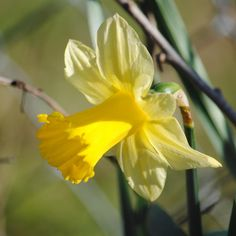 The Song of the Daffodil Fairy