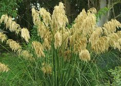 Toetoe - Cortaderia, the New Zealand species are not as upright as the introduced pest-plant pampas grasses from South America. Organic Gardening, Gardening Tips, Country Fences, Tomato Cages, Pampas Grass, Organic Vegetables, Raised Beds, Native Plants, Botany